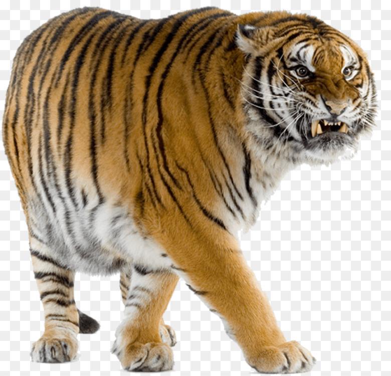 Felidae Lion Leopard Bengal tiger White tiger