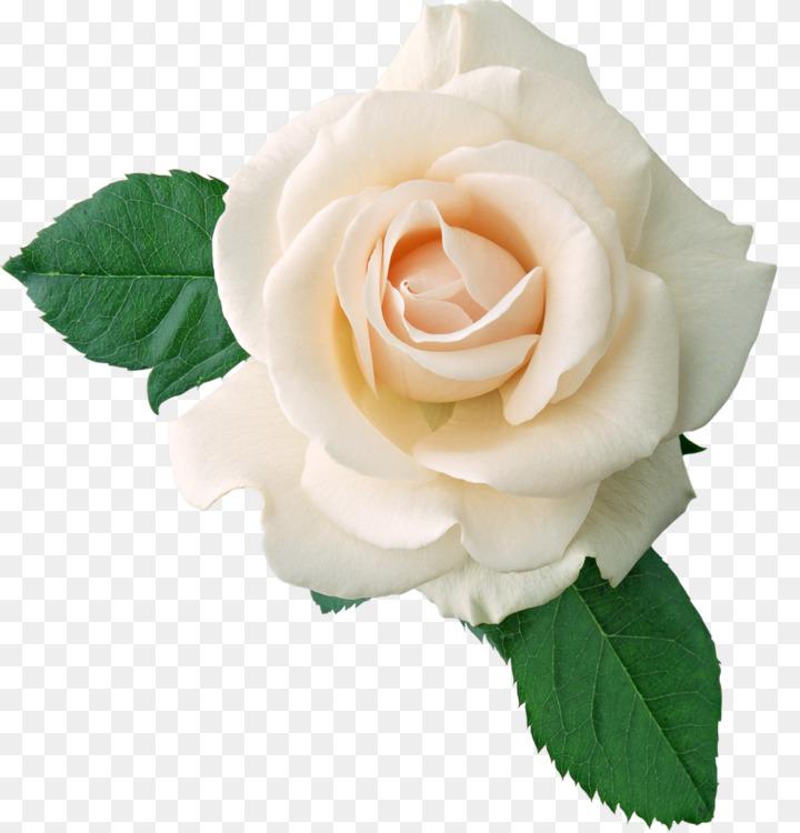 Hybrid Tea Rose Drawing Garden Roses Art Free Png Image Rose