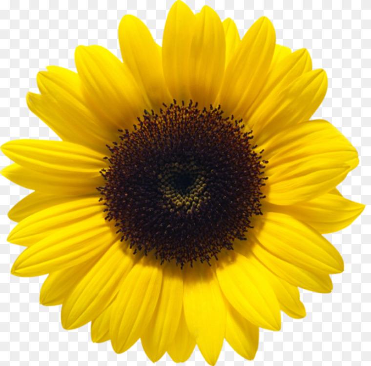 Sunflower Seed,Pollen,Flower