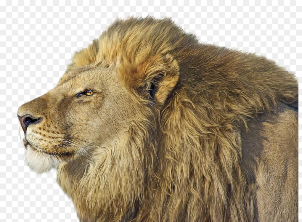 Lion Cubs Felidae Lionhead rabbit Roar