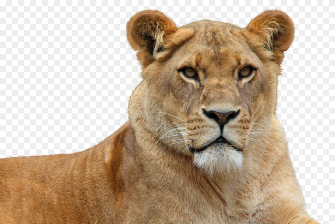 East African lion Computer Icons Download Web browser Image resolution