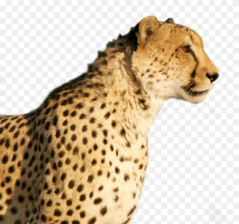 Cheetah Jaguar Leopard Download