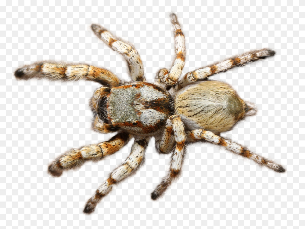 Tarantula Wolf spider 3D computer graphics Transparency and translucency