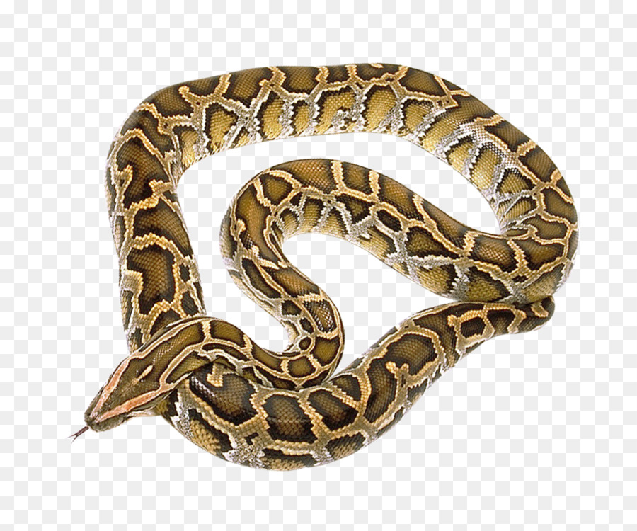 Snakes Reptile Rattlesnake Burmese python Ball python