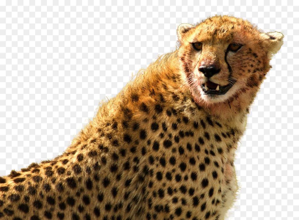 Cheetahs and Leopards Cheetahs and Leopards Jaguar Felidae