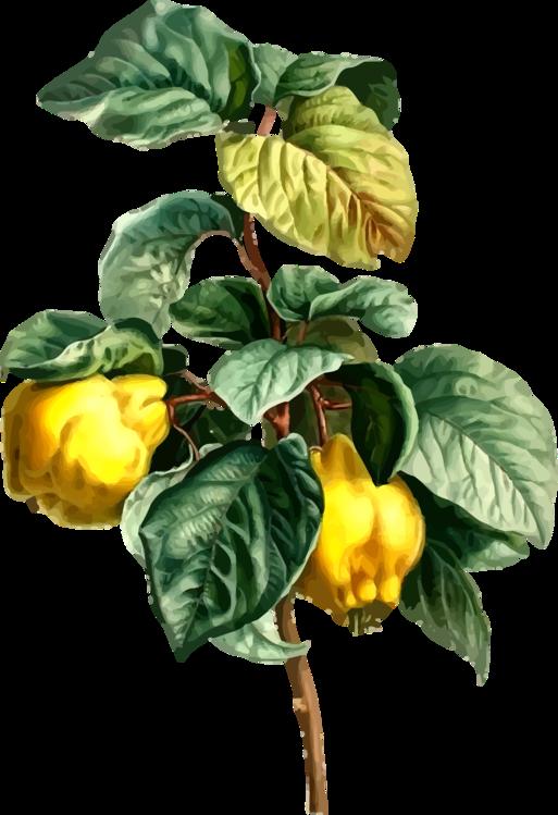 Chili Pepper,Plant,Vegetable