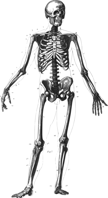Human Skeleton Human Body Anatomy Bone Free Commercial Clipart