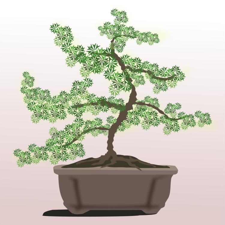 Bonsai,Plant,Houseplant