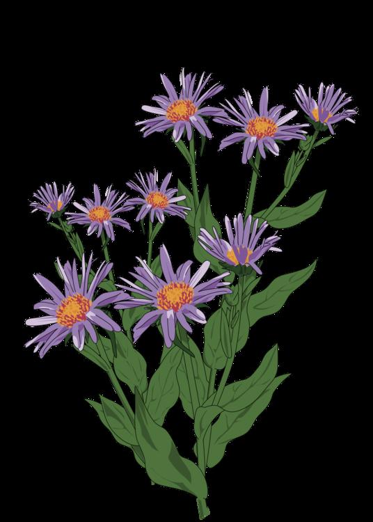 Plant,Flower,Aster