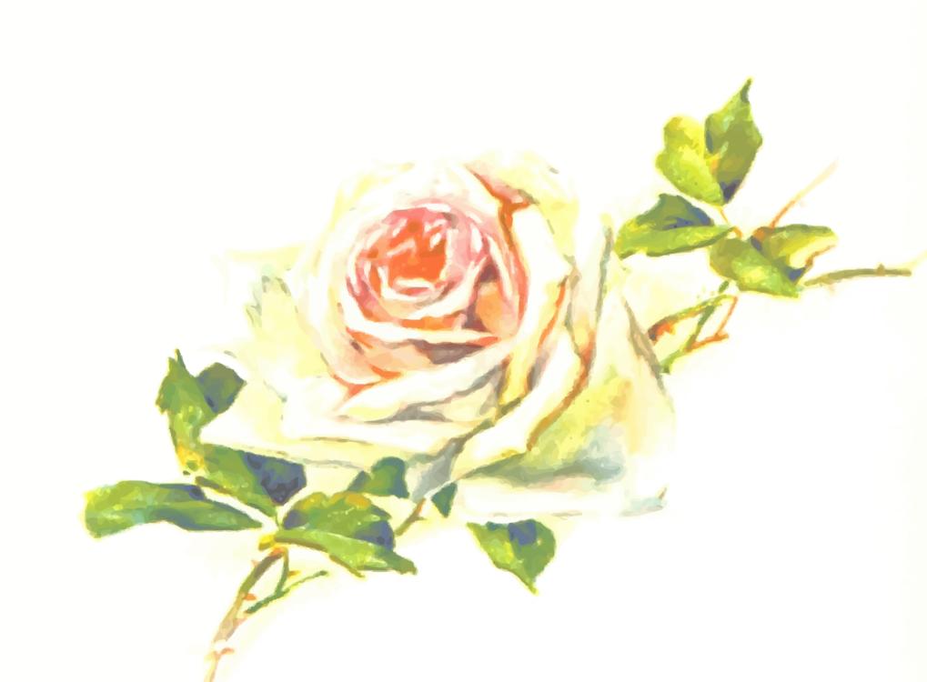 Plant,Flower,Garden Roses