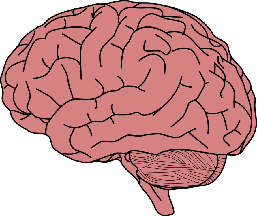 Human Brain Drawing Brain Facts Brain Damage Free Commercial Clipart