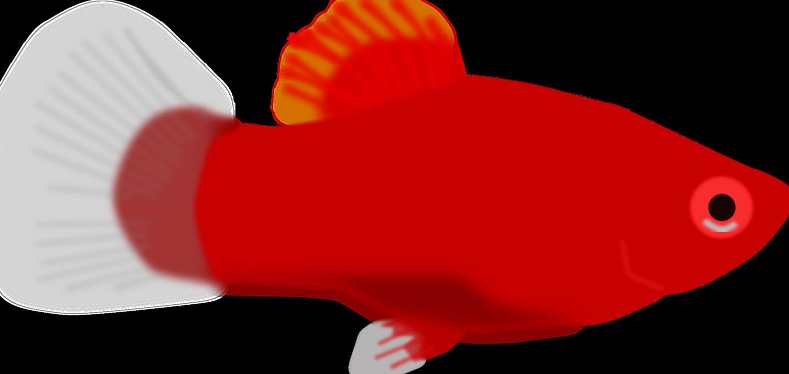 Fish,Red,Aquarium