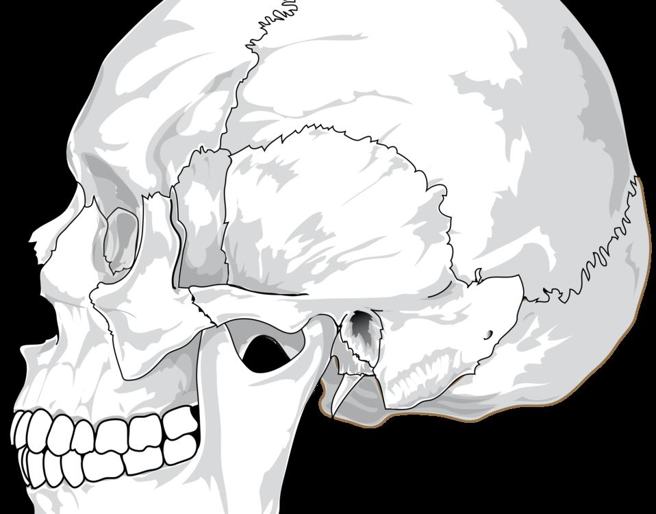 Skull Anatomy Human body Human skeleton Diagram free commercial ...