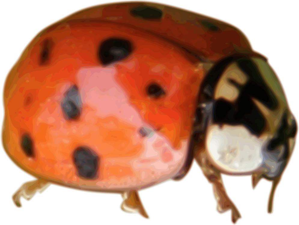 Ladybird,Invertebrate,Arthropod