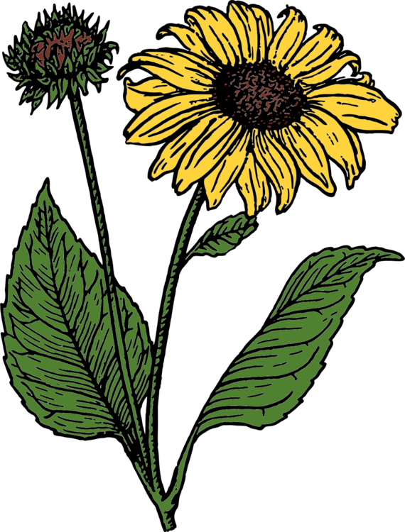 Sunflower Seed,Plant,Flora