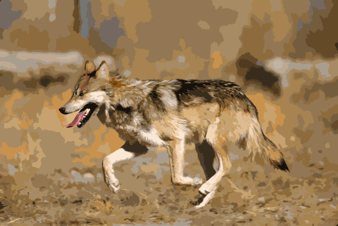 Canis Lupus Tundrarum,Wildlife,Seppala Siberian Sleddog