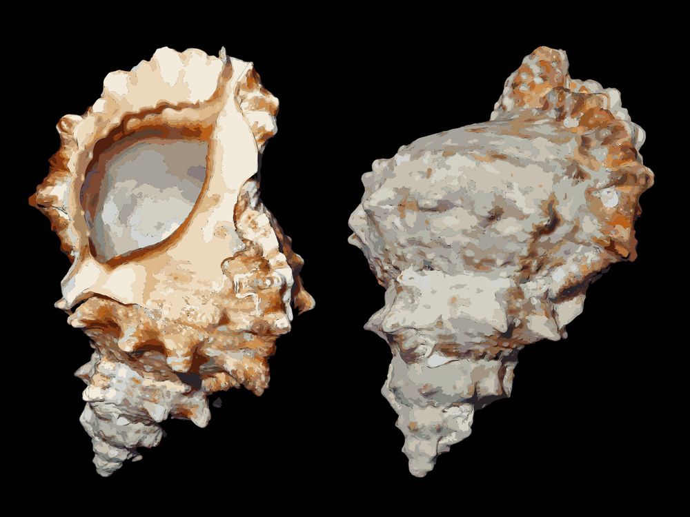 Cockle,Mineral,Conch