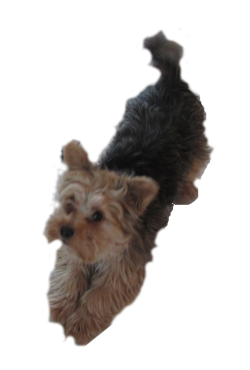 Yorkshire Terrier Australian Terrier Puppy Norfolk Terrier Cairn