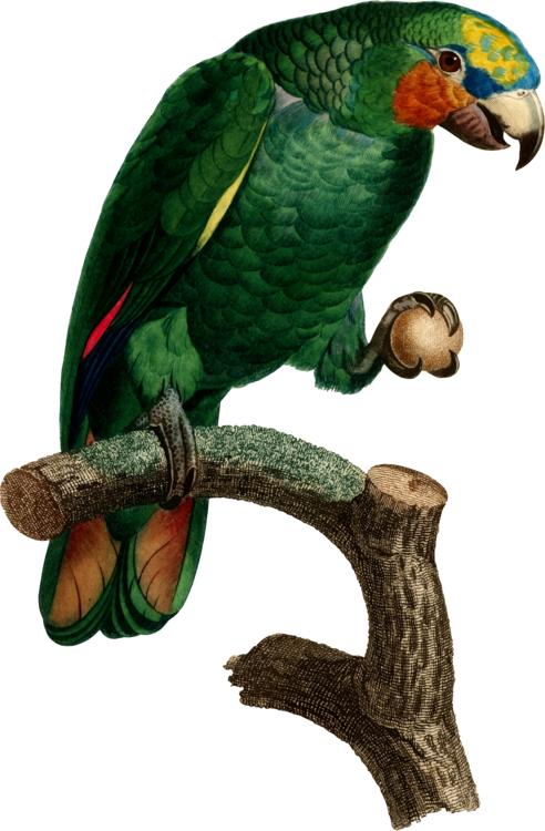 Macaw,Parrot,Perico