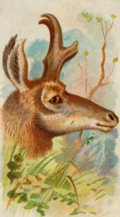 Fawn,Wildlife,Musk Deer