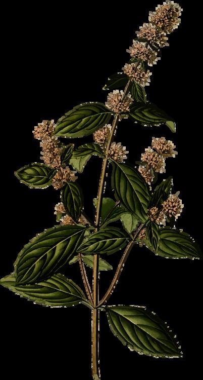 Plant,Leaf,Herb