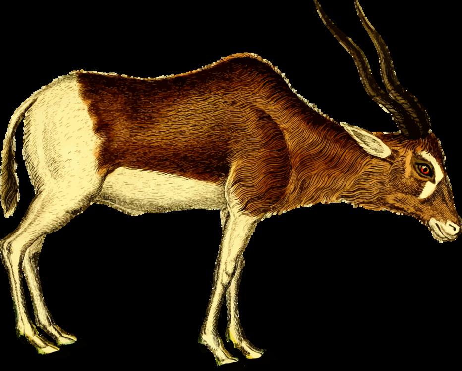 Antelope,Cattle Like Mammal,Springbok
