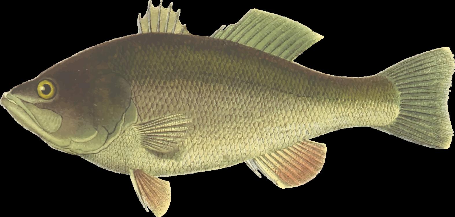 Perch,Tilapia,Bony Fish