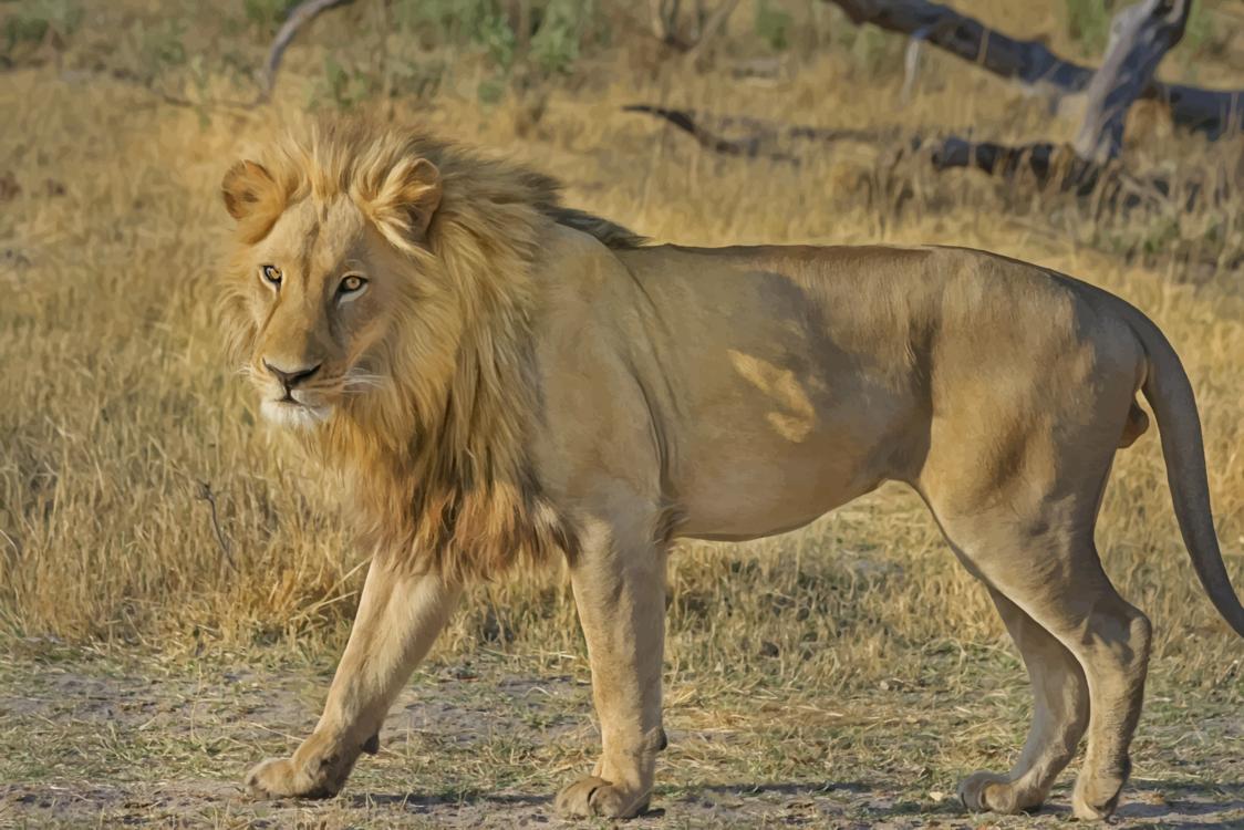 Masai Lion,Wildlife,Grass