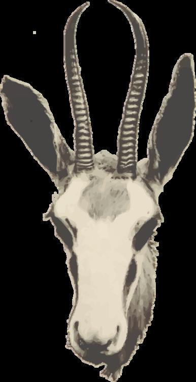 Snout,Wildlife,Gemsbok