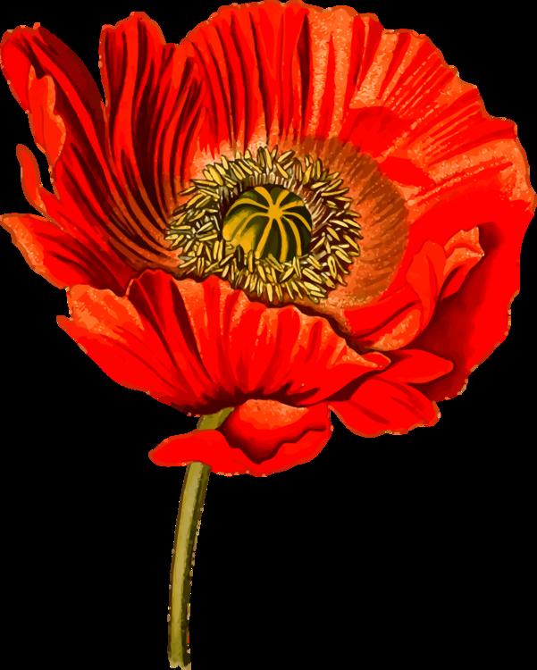 Plant,Flower,Coquelicot