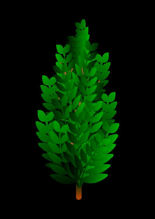Fir,Pine Family,Plant