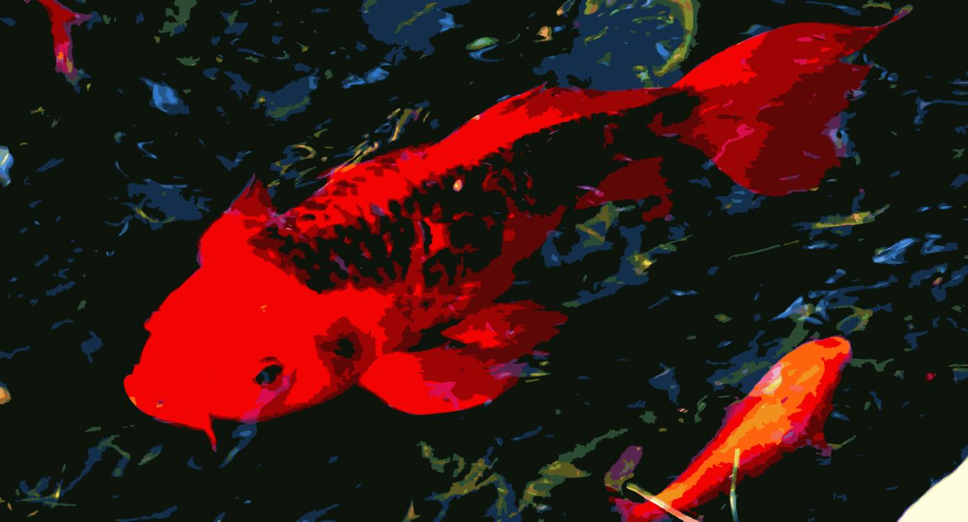 Koi,Marine Biology,Underwater
