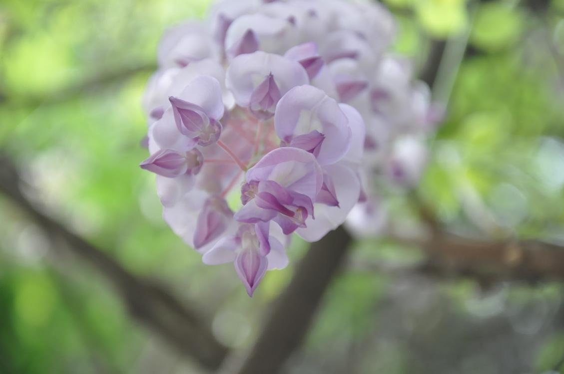 Plant,Flora,Lilac
