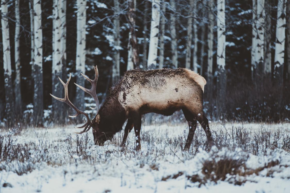 Elk Red deer Moose