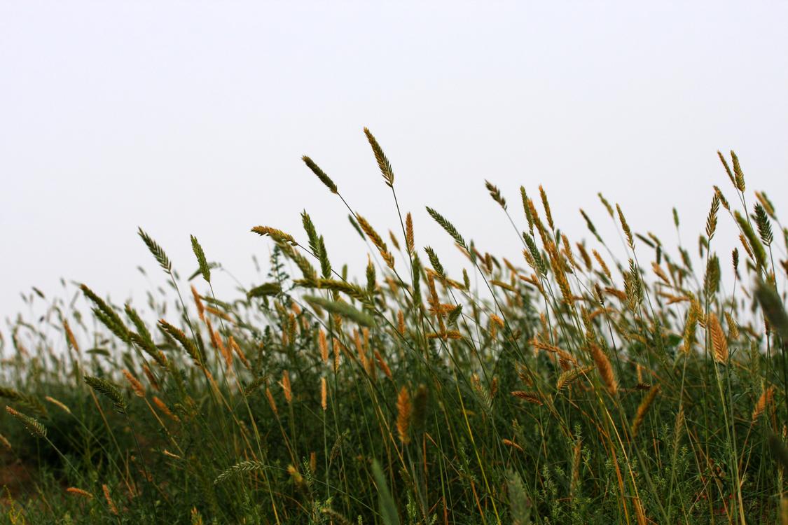 Prairie Ecoregion Grain Phragmites Sky plc
