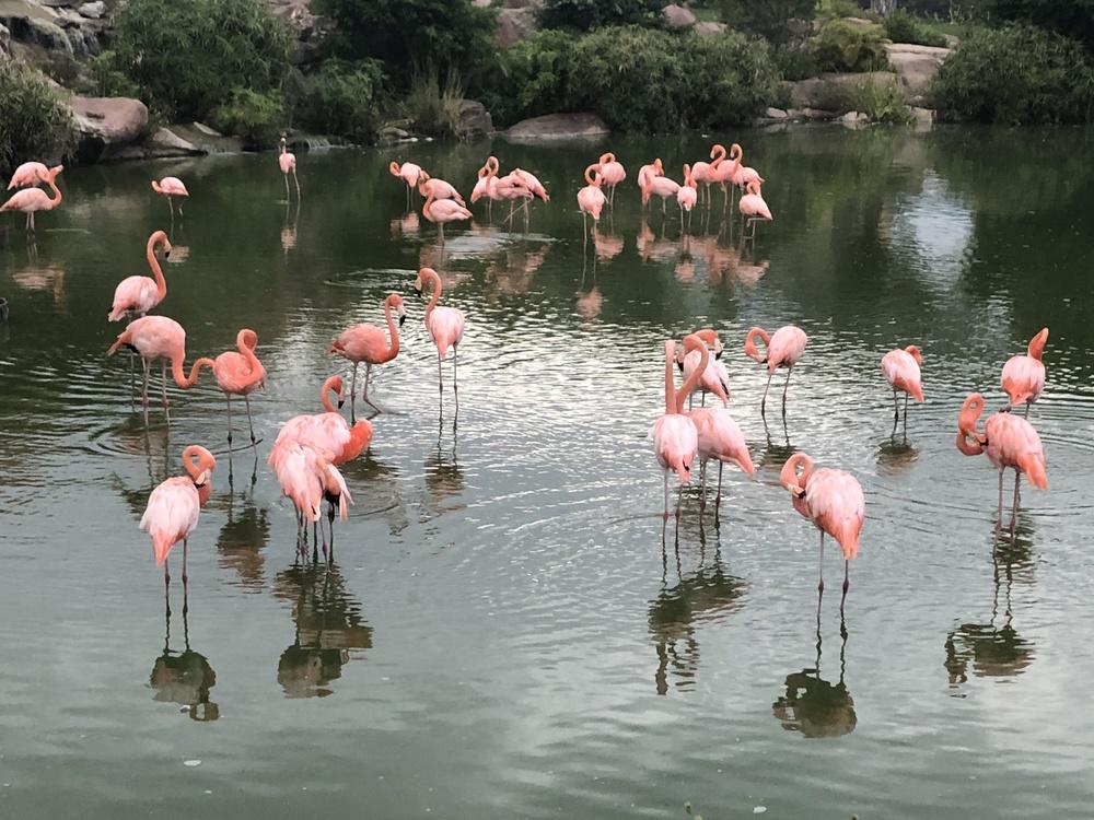 Flamingo,Water Bird,Reflection