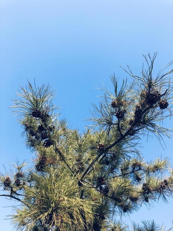Fir,Pine Family,Flower