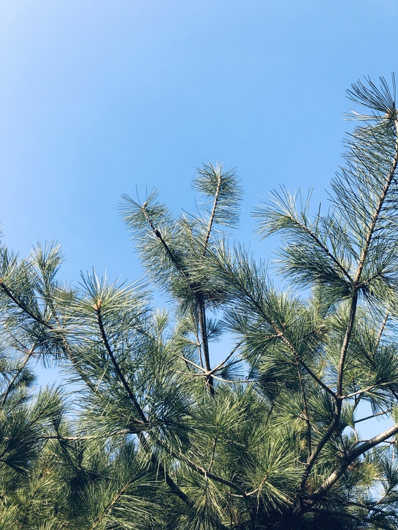 Shortstraw Pine,White Pine,Plant