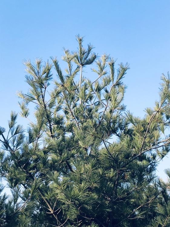 American Larch,White Pine,Plant