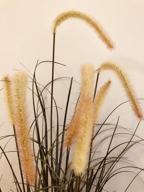 Bulrush,Grass Family,Flower