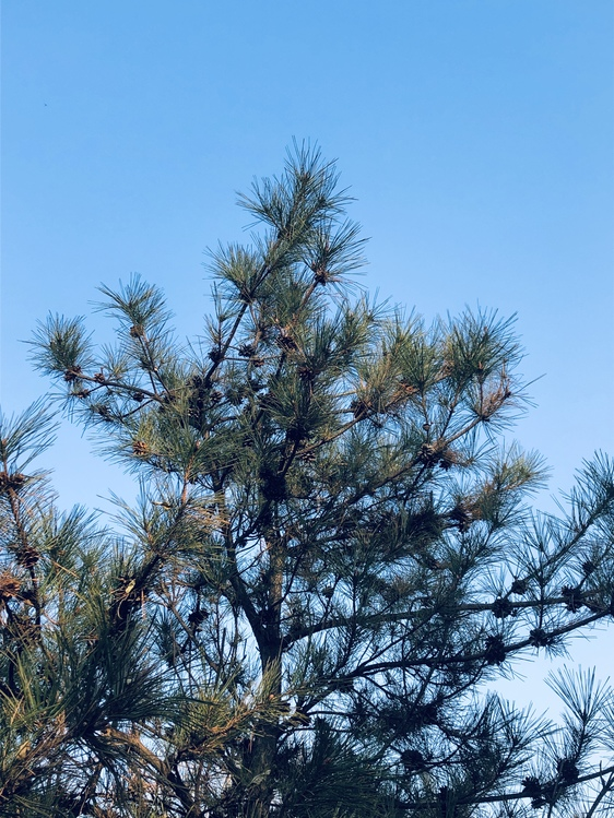 Fir,Pine Family,Colorado Spruce