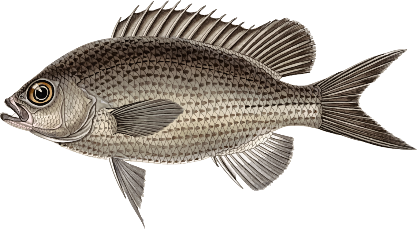 Tilapia,Fish,Vertebrate