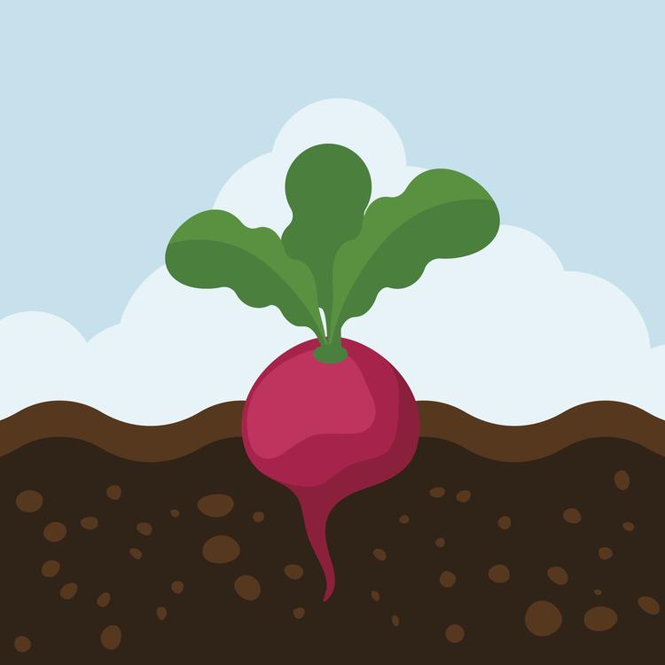 Beetroot,Plant,Leaf