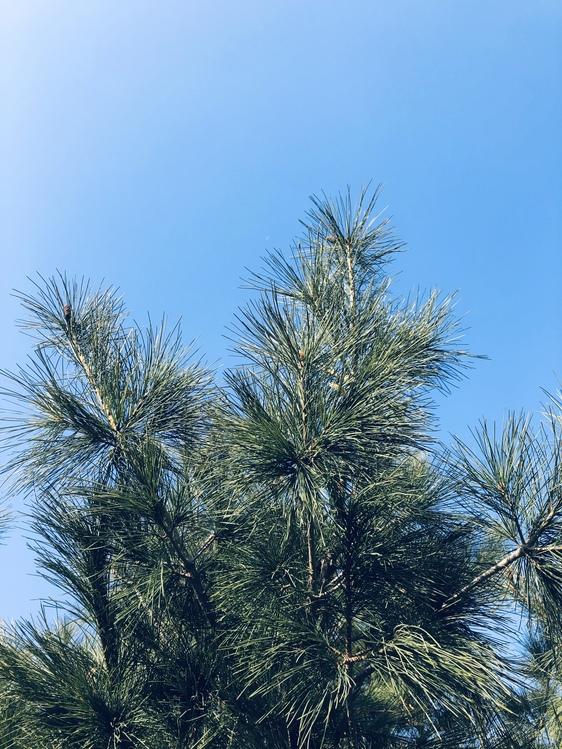 Pine Family,Red Pine,Sky
