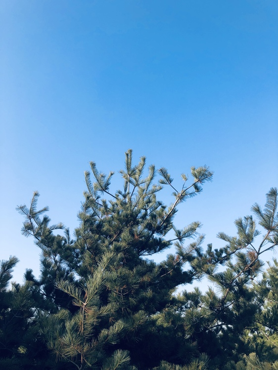 American Larch,Pine Family,Plant