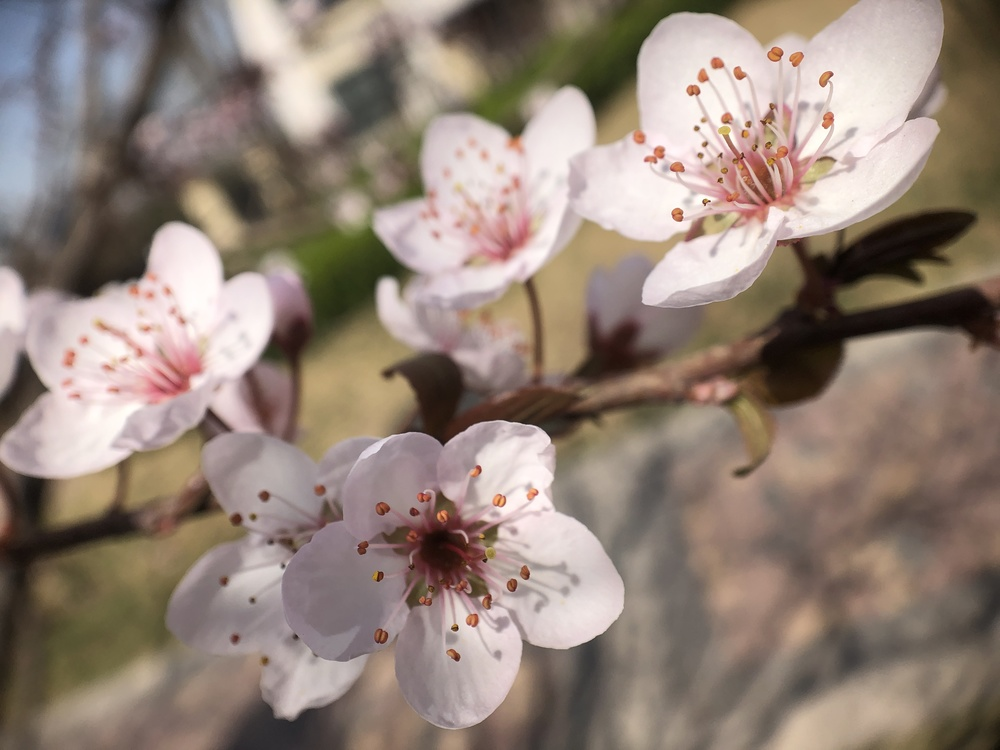 Plant,Flower,Prunus