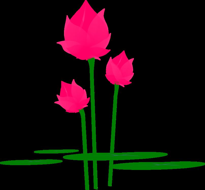 Pink,Flower,Anthurium