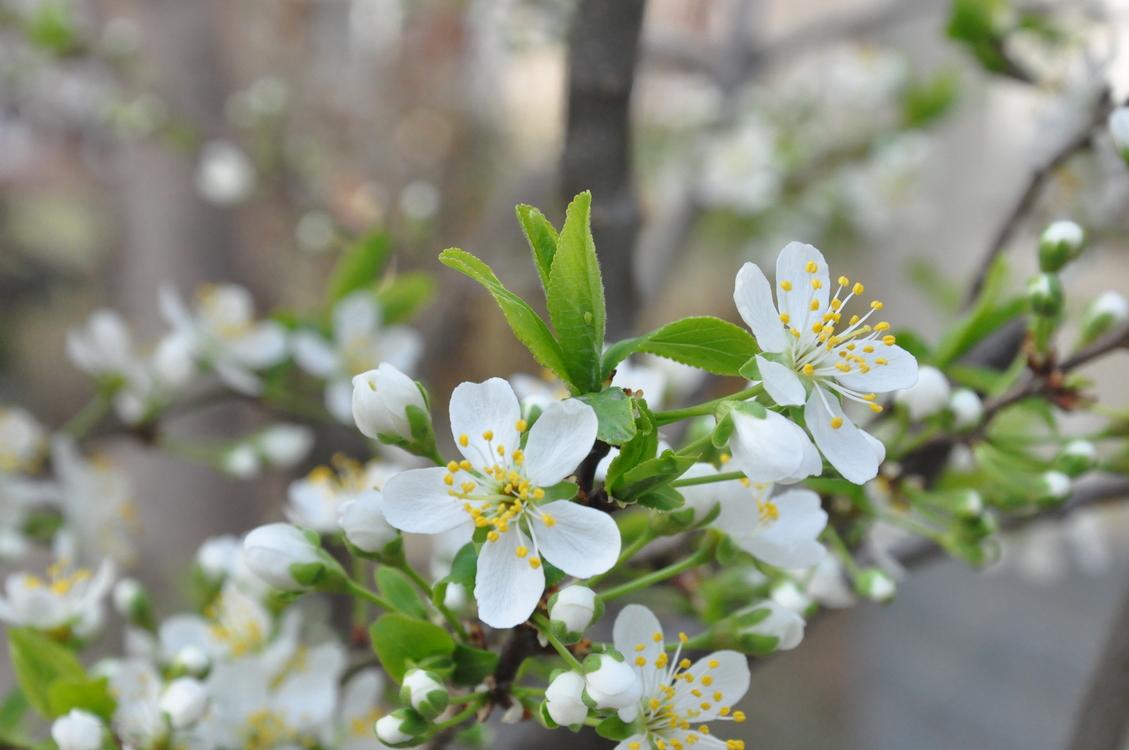 Plant,Flower,Prunus