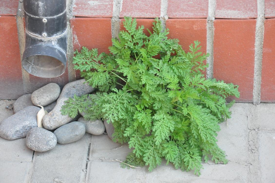 American Larch,Plant,Flower