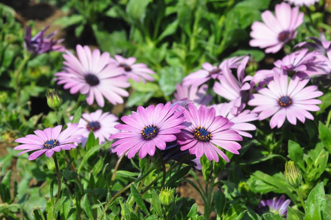 Flower,Perennial Plant,Purple